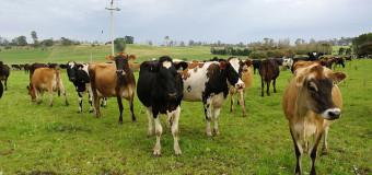 Ashgrove Cheese Farm Elizabeth Town Tasmania