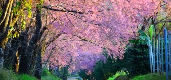 Chiang Mai Thailand Sakura 2015 Pictures