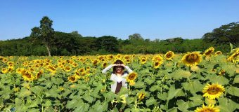 Three Sunflower Fields near Bangkok in Thailand
