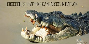 Crocodiles Jump Like Kangaroos in Darwin