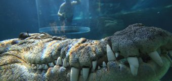 Swim with Crocodiles in Cage of Death Crocosaurus Cove in Darwin