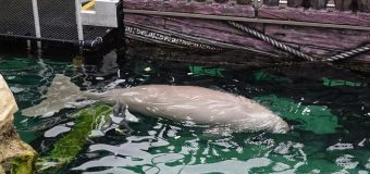 Where to see Dugong in Australia?