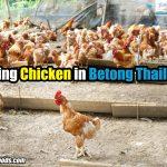 Finding Chicken in Betong Thailand